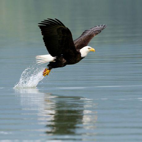 Shearwater Resort and Marina, Adler fliegt über das Wasser