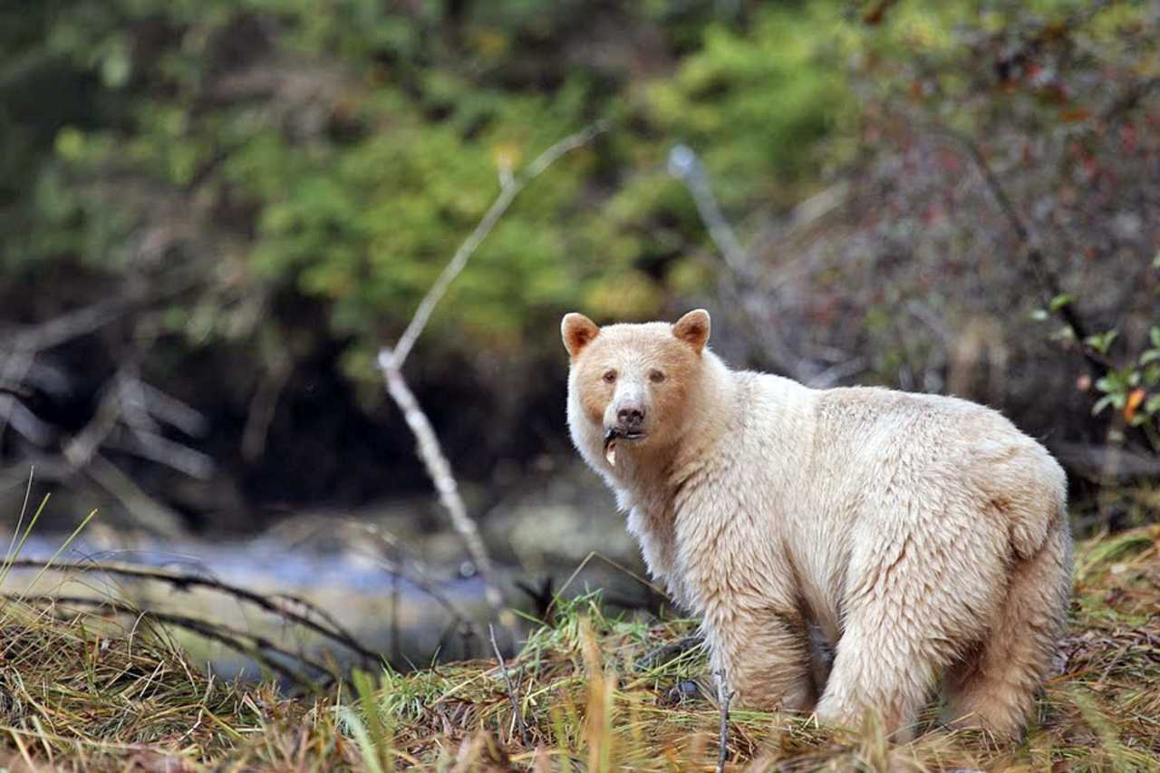Baer an der Spirit Bear Lodge