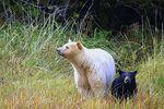 Mit den First Nations die Geisterbären entdecken