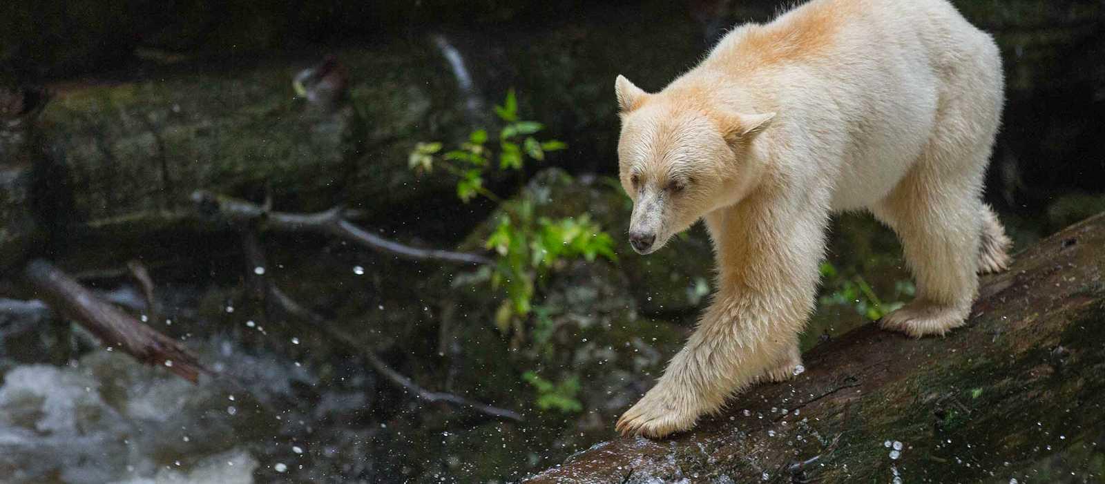 Ein Bär, der die Umgebung der Spirit Bear Lodge in Klemtu, British Columbia erkundet
