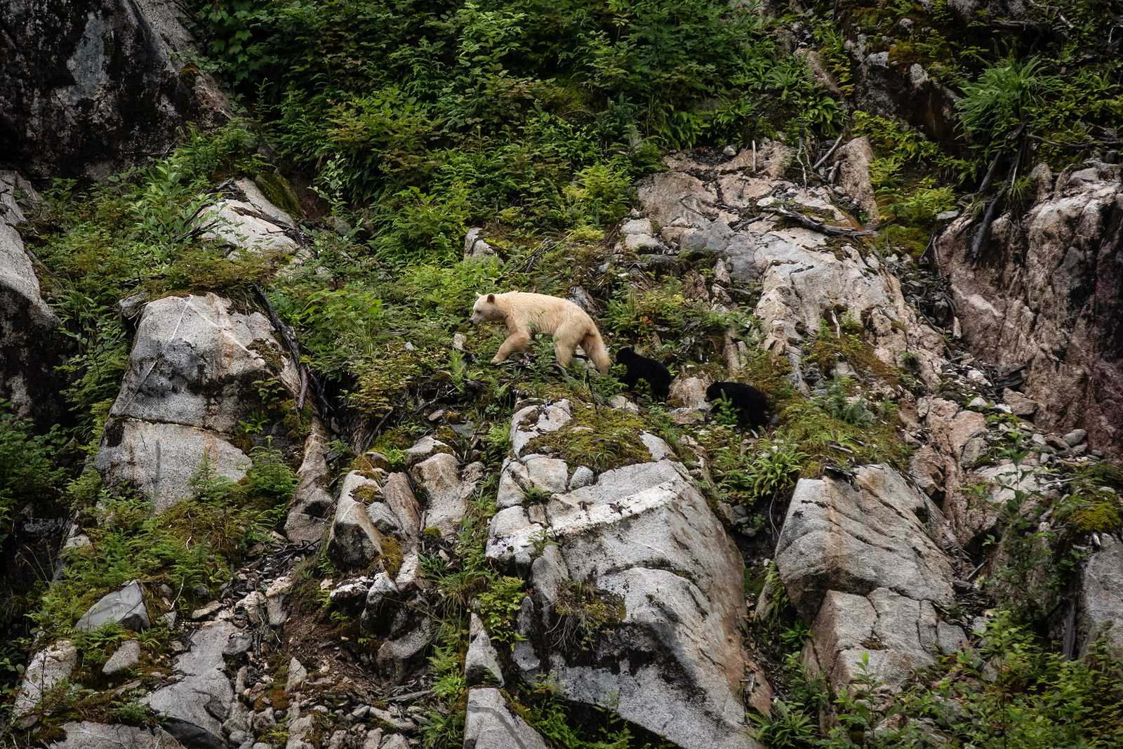 Ausblick auf einen Bären, der die Umgebung der Spirit Bear Lodge in Klemtu, British Columbia erkundet
