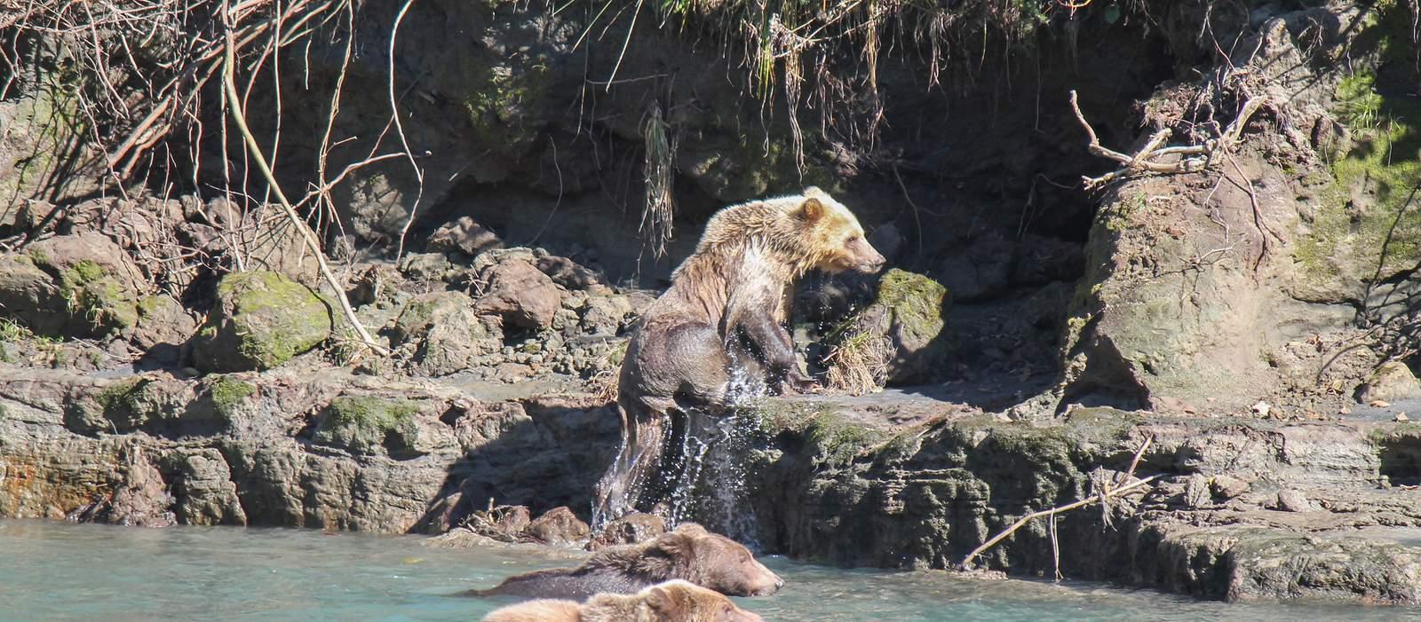 Bär nahe der Homfray Lodge am Desolation Sound