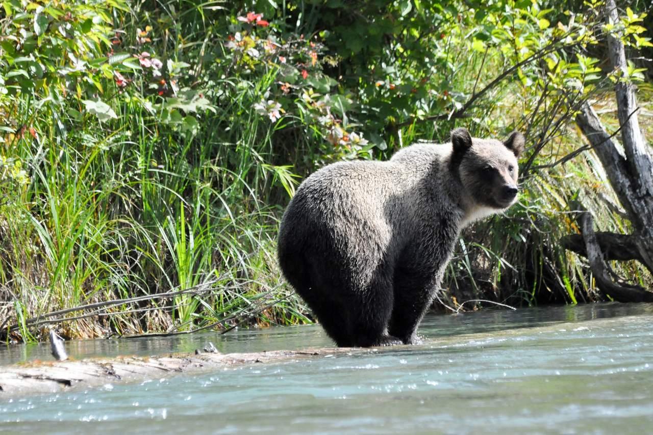 Bär auf der Jagd in der Nähe der Pyna-Tee-Ah Lodge