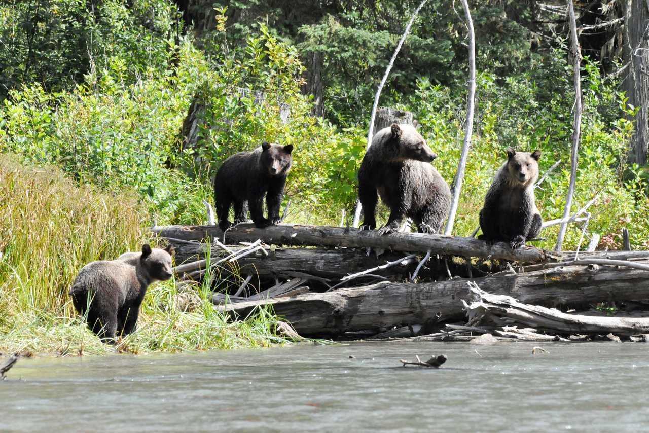 Bären auf der Jagd in der Nähe der Pyna-Tee-Ah Lodge