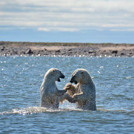 Das Ultimate Polar Bear Adventure der Lazy Bear Lodge in Churchill, Manitoba