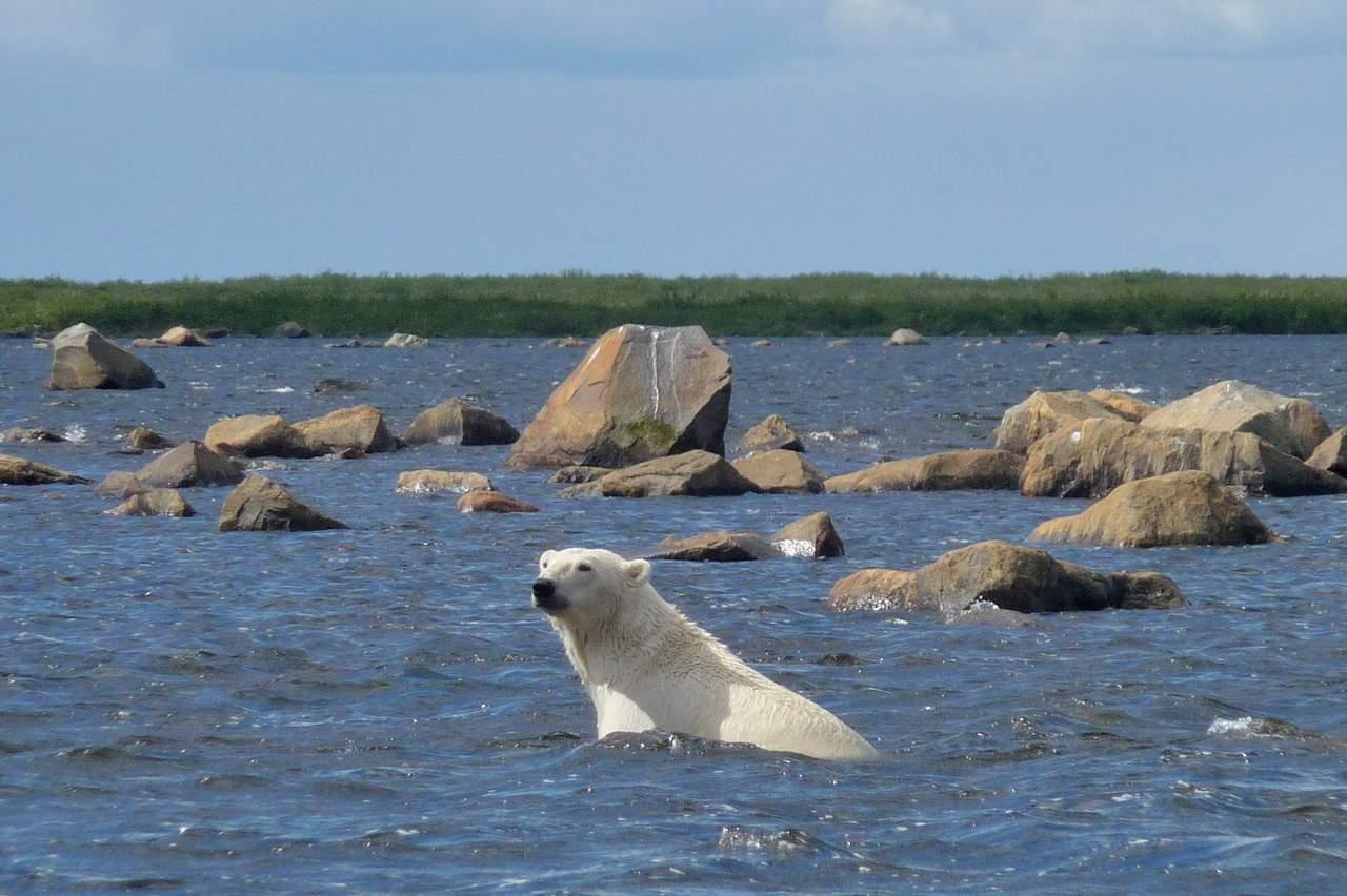 Ein Polarbär schwimmt, Churchill - Manitoba