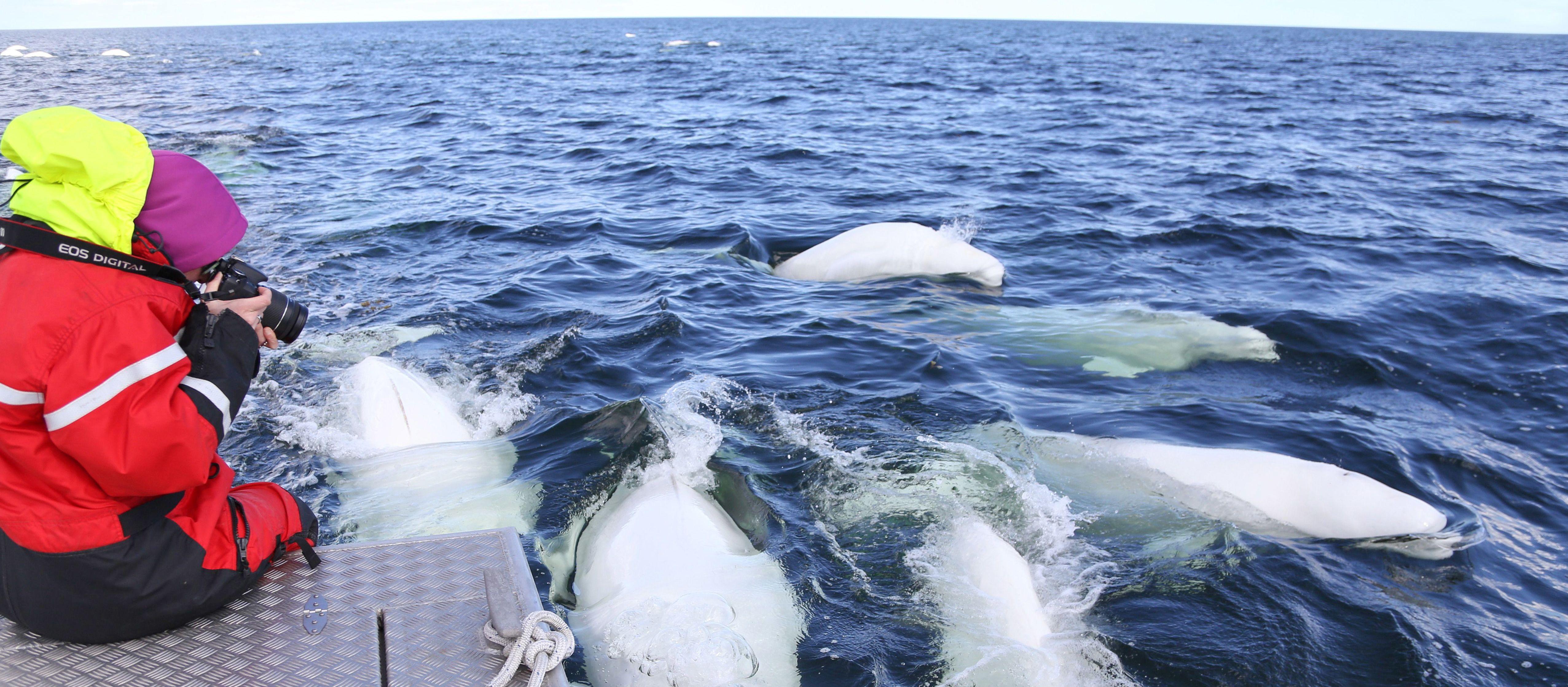 Die Beluga Whale Dream Tour der Lazy Bear Lodge in Churchill, Manitoba