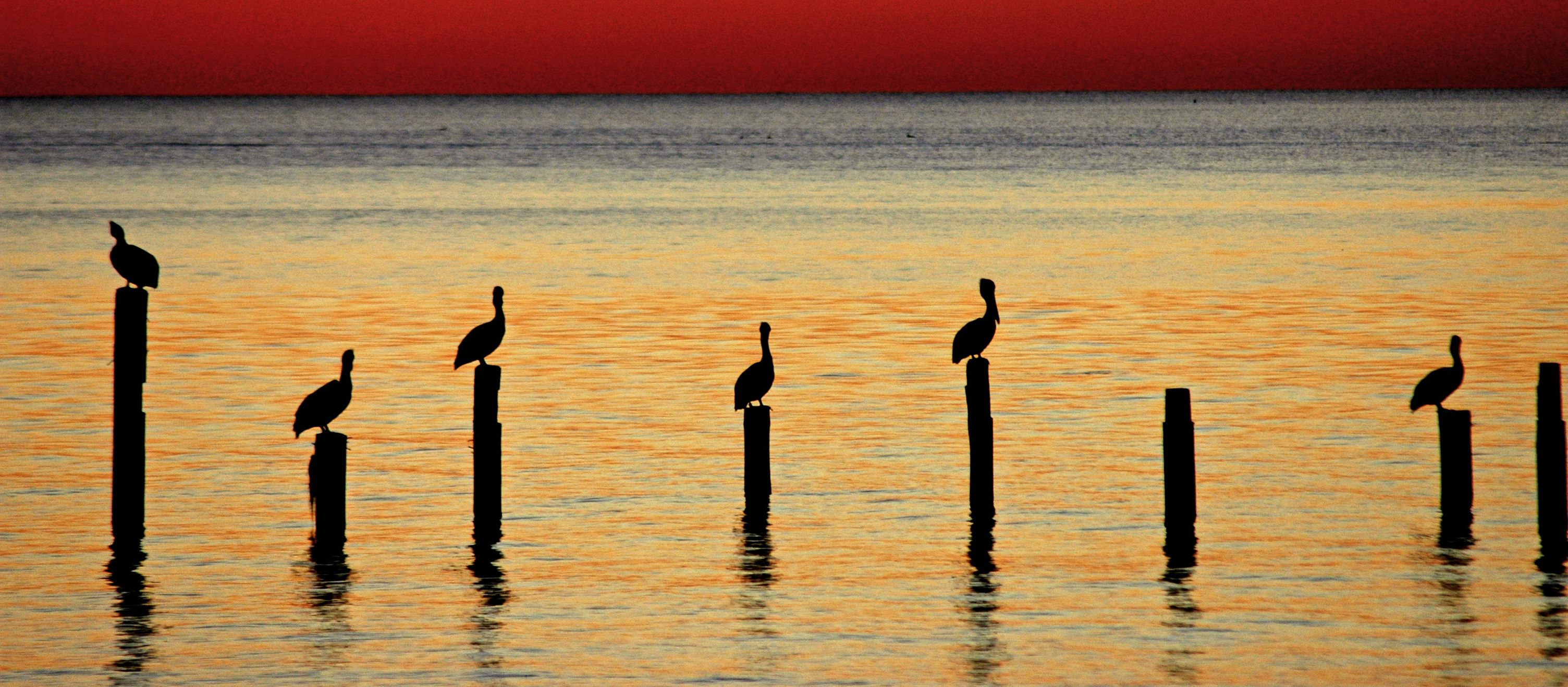 Pelikane an der Kueste vor Biloxi