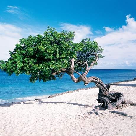 NCL Impression Divi Divi Tree Aruba