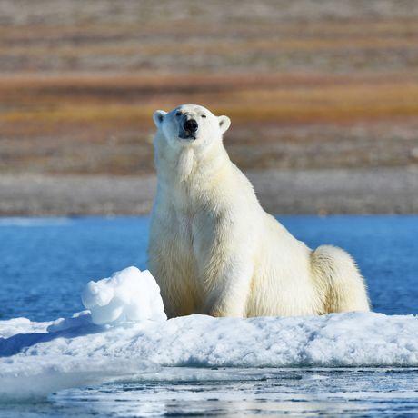 Eisbaer im Schnee