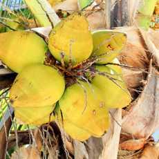 Kokosnüsse auf der Insel Green Turtle Cay, Bahamas