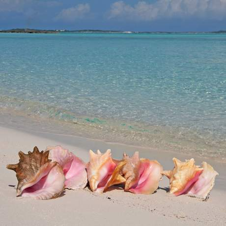 Conch Muscheln am Strand