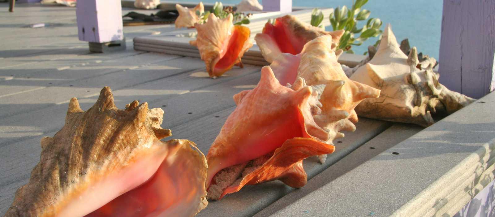 Conch Muscheln auf einem Steg