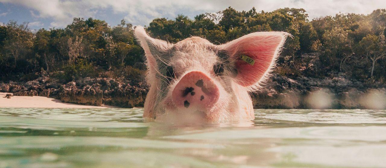 Karibiktraum Bahamas - Schwimmen mit Schweinen
