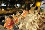 Wunderschöne Muscheln auf Cat Island Bahamas