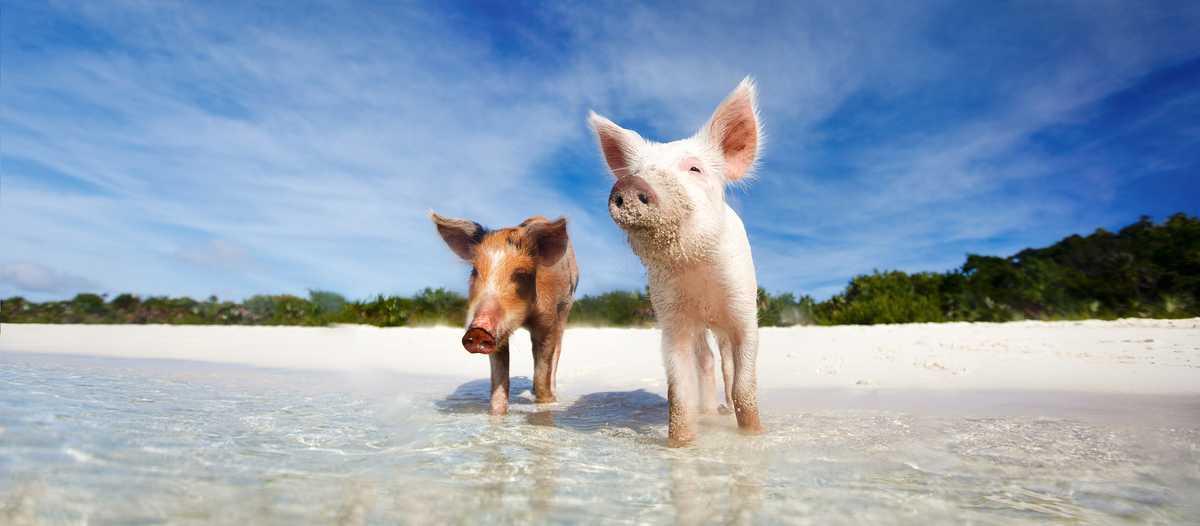 Schwimmende Schweine am Strand