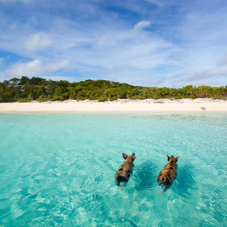 Schwimmende Schweine auf den Bahamas