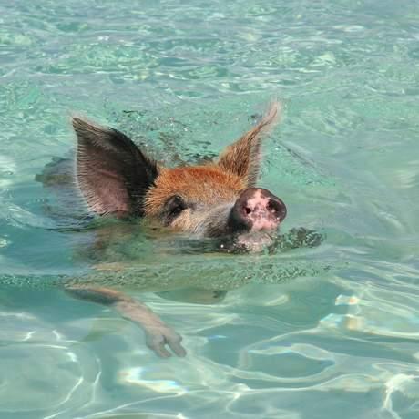 Ein schwimmendes Schwein auf den Bahamas