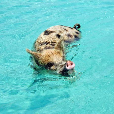 Schwimmendes Schwein vor Exuma