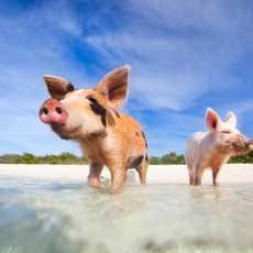 Schwimmende Schweine auf Exuma