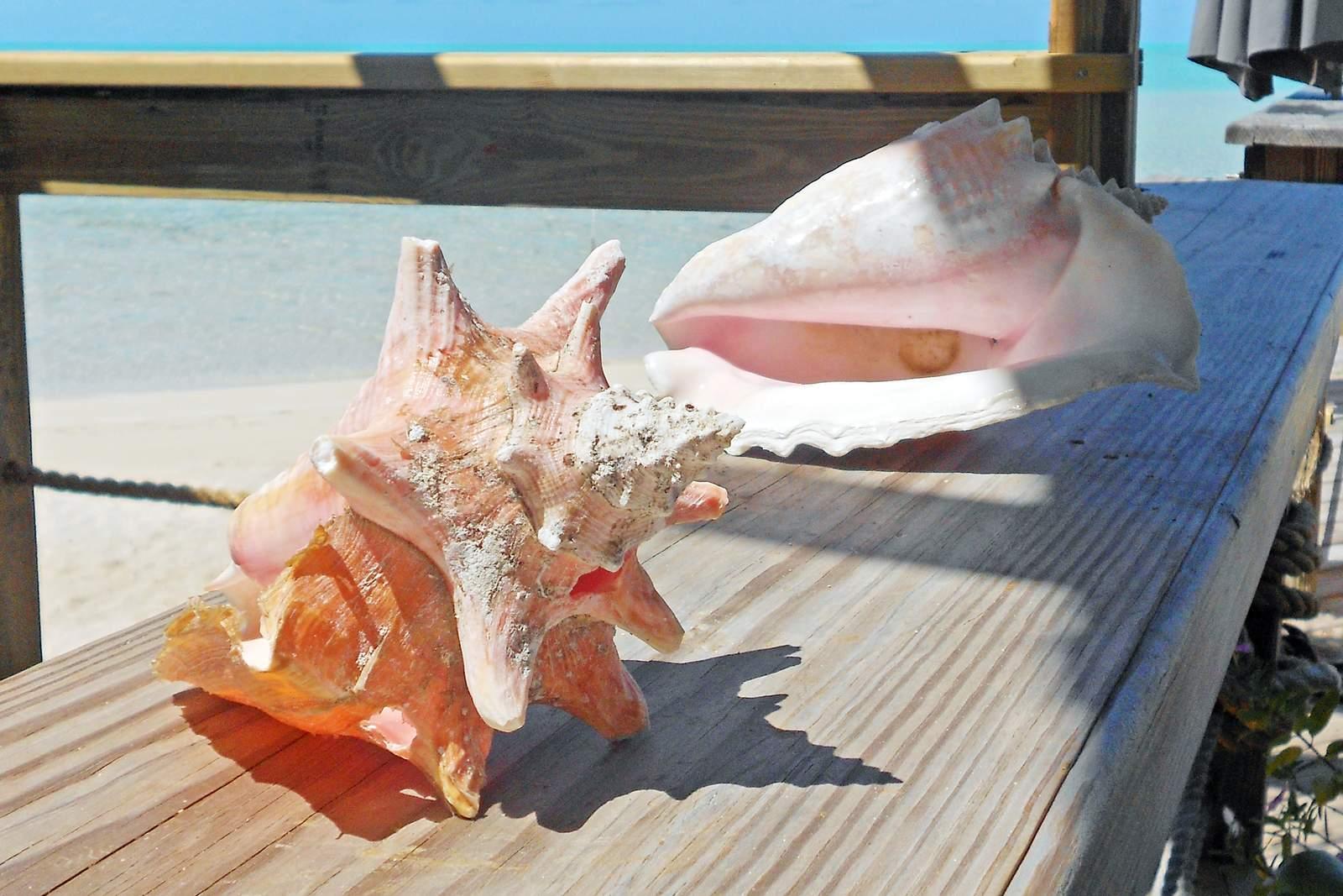 Conch Muscheln, eine beliebte Delikatesse