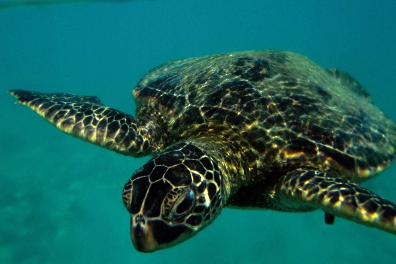 Underwater shot of honu