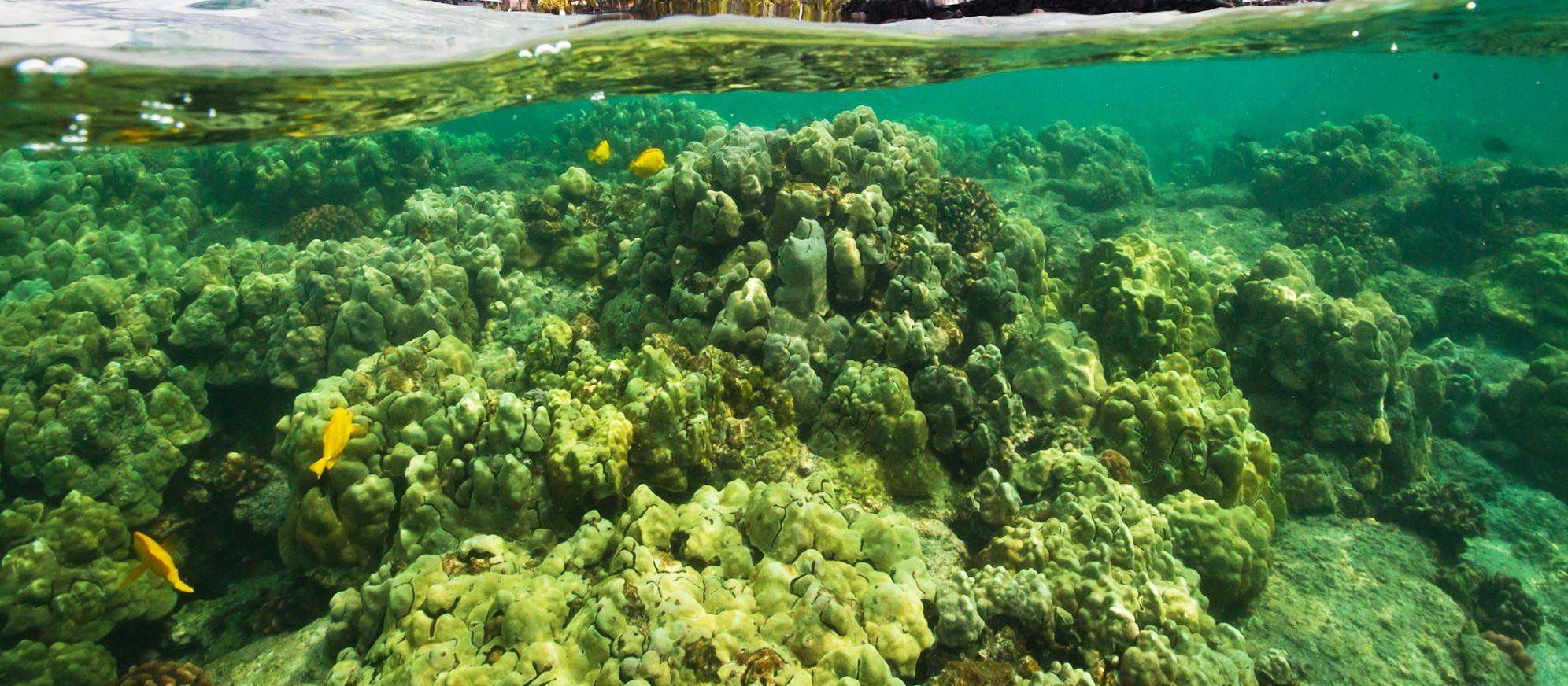 Korallen beim Hale o Keawe Heiau Tempel an der Kealakekua Bay, Big Island