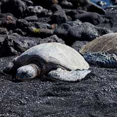 Honu am Punaluu Black Sand Beach, Big Island