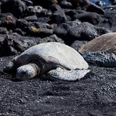 Honu am Punaluu Black Sand Beach, Big Island