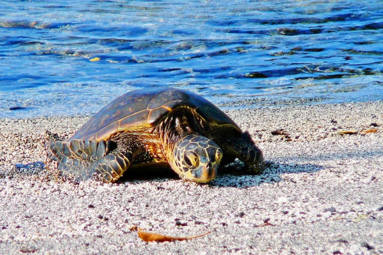 Schildkröte auf Big Island