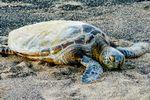 Eine liegende Schildkröte am Stand von Hawaii Island