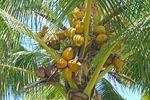 Kokosnüsse an der Palmenkrone auf Kauai, Hawaii