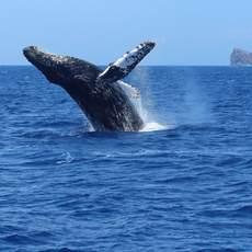 Buckelwal springt aus dem Wasser, Maui