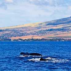 Walflossen vor Lahina, Maui
