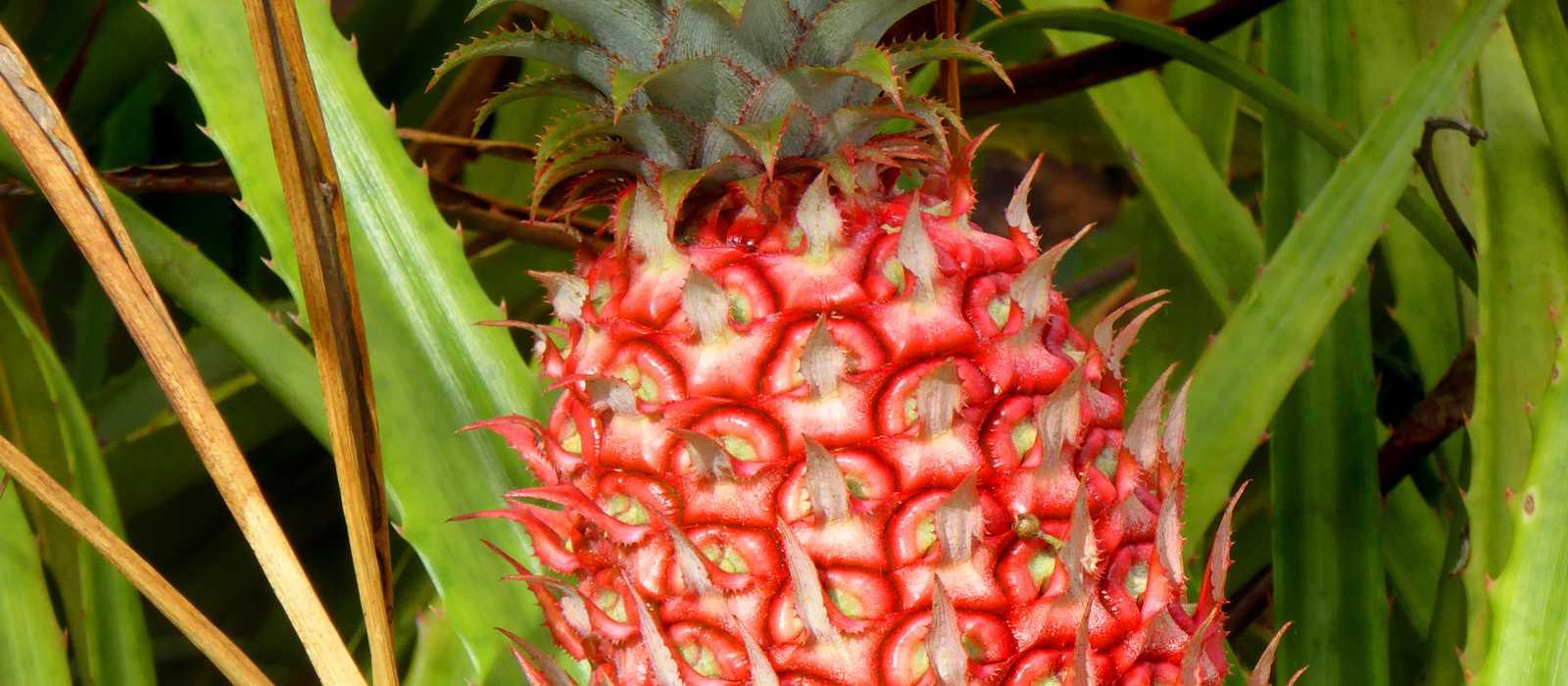 Frische Ananas von der Dole Plantage