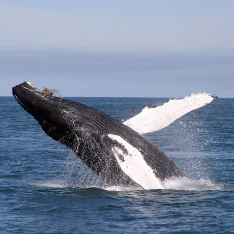 Buckelwal spingt aus dem Wasser