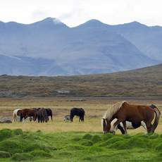 Islandpferde grasen in der Wildness