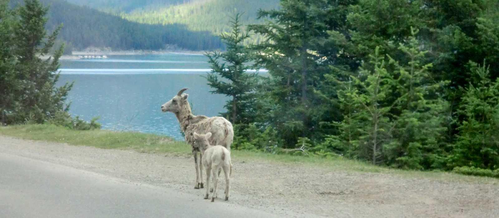 Hirsche am Wegesrand im Banff National Park