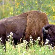 Bison im Elk Island National Park