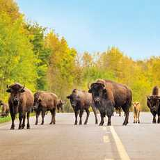 Bisons im Elk Island National Park