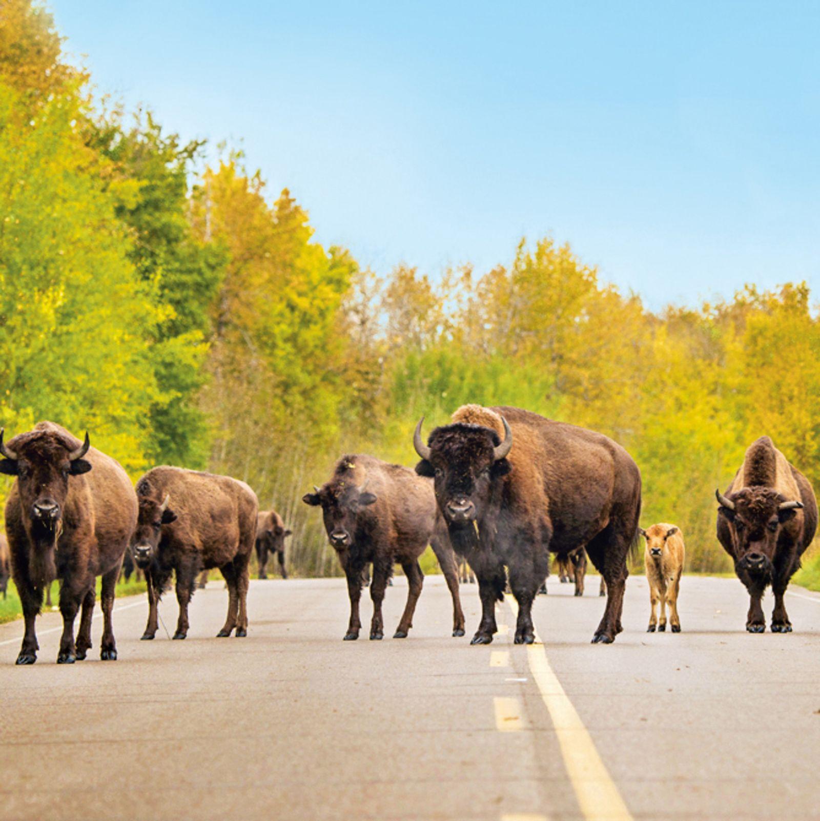 Bisons im Elk Island National Park
