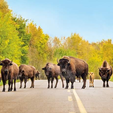 Elk Tag Vancouver Island