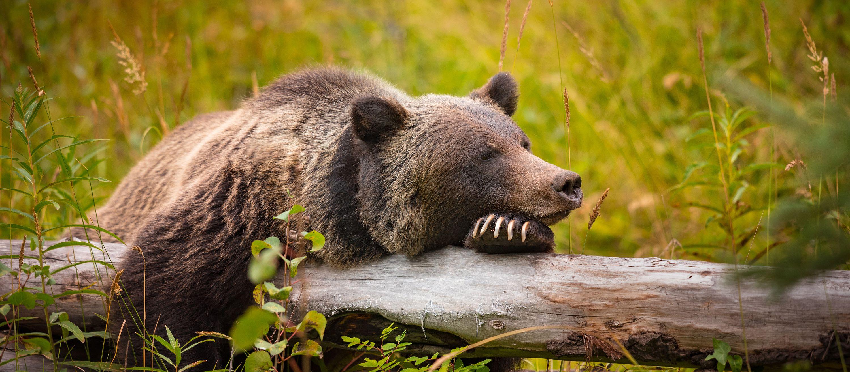 Ein Grizzlybär ruht sich aus