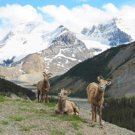 Dickhornschafe im Banff National Park, Kananaskis Country, Alberta