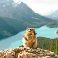Ein Eichhörnchen vor Peyto Lake im Banff Nationalpark, Alberta