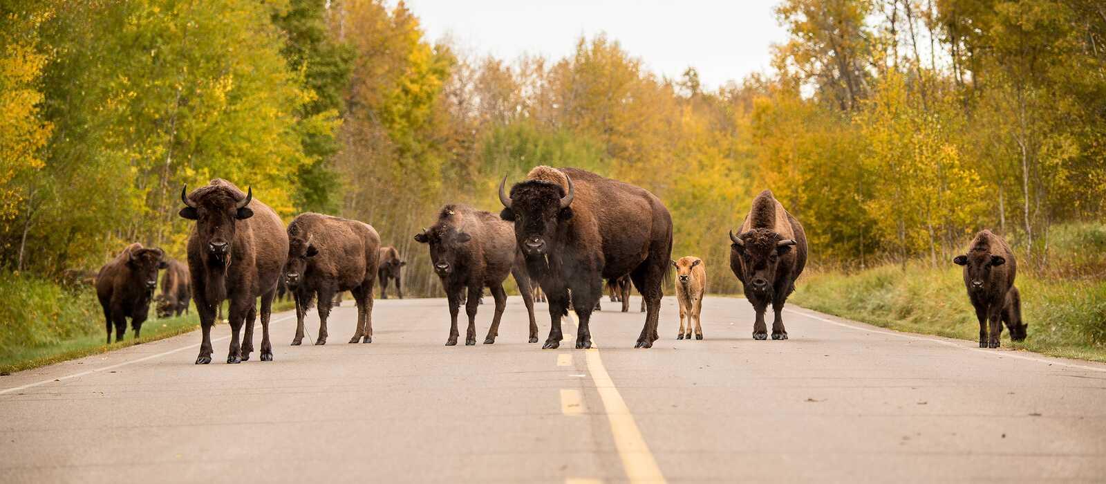 Eine Herde Bisons im Elk-Island-Nationalpark nahe Edmonton