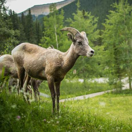 Bighorn Sheep bei den Miette Hotsprings, Alberta