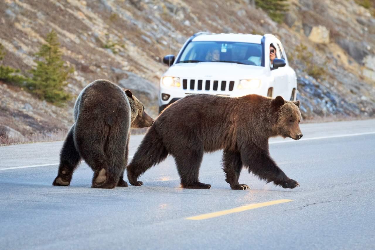 Zwei Grizzlies laufen auf dem Icefields Parkway