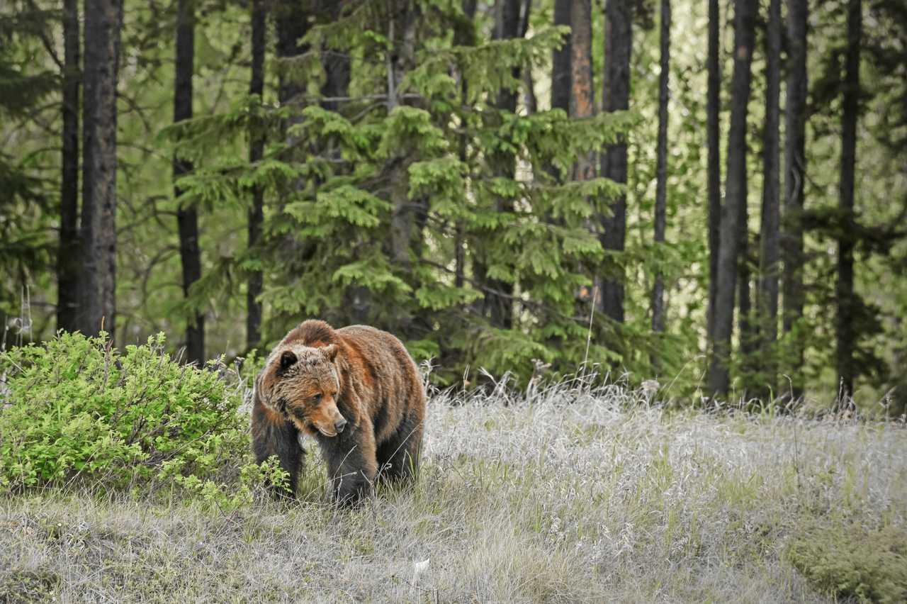 Grizzly im Jasper National Park, Alberta