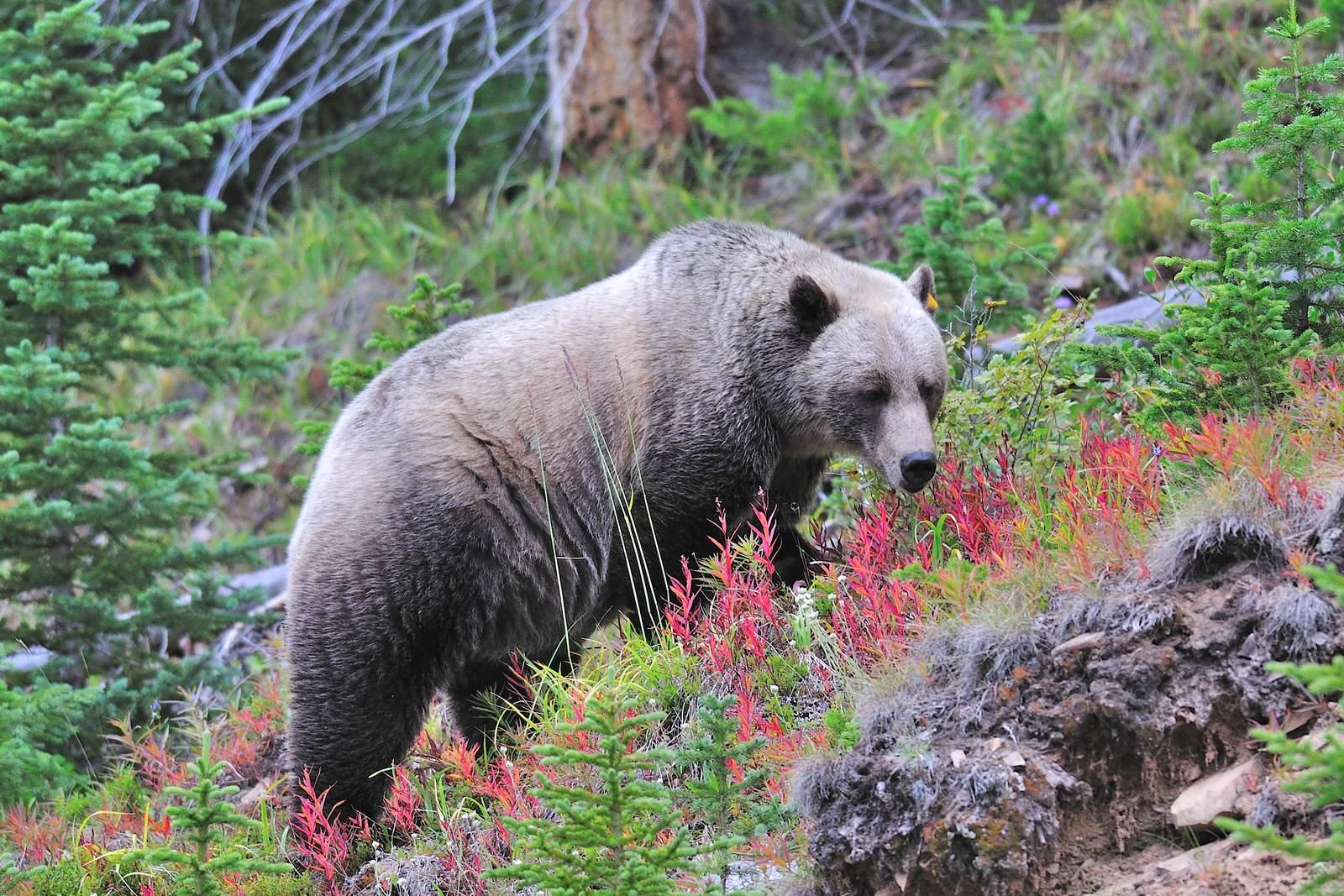 Grizzlybär im                 Banff National Park